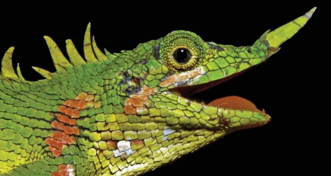 Ящерица (Harpesaurus modiglianii)