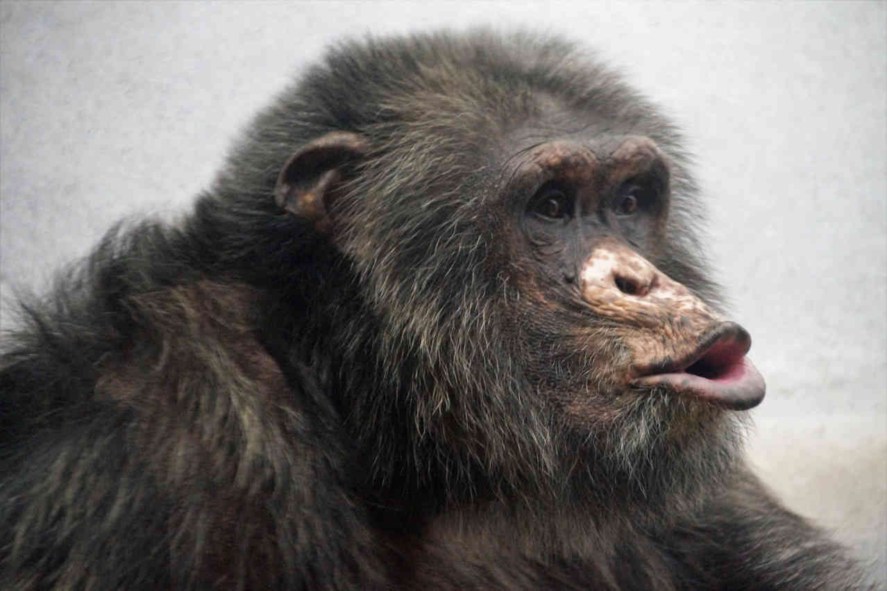 Шимпанзе говорит