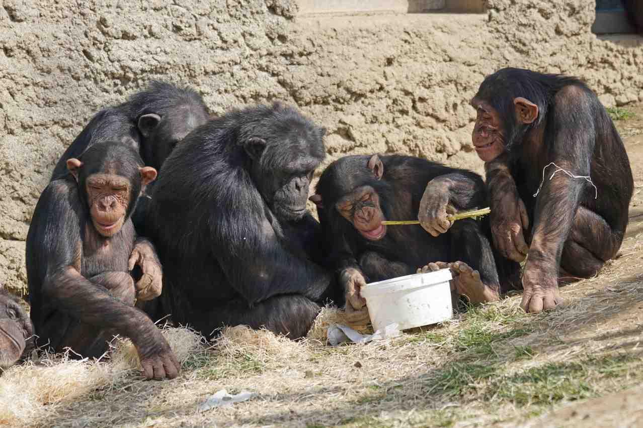 Семья Шимпанзе