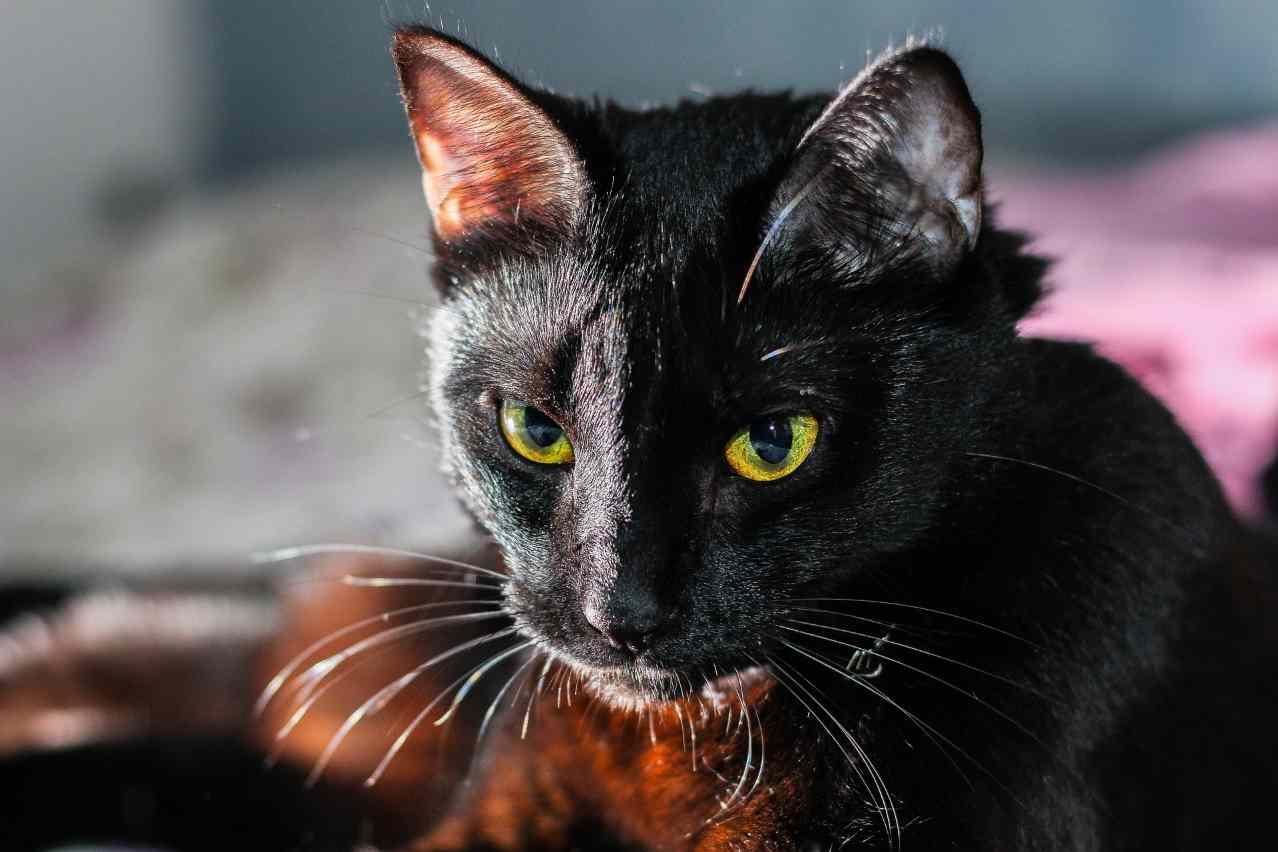 Черный кот Тольятти