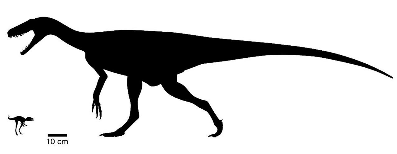 Сравнение динозавров Kongonaphon kely и Herrerasaurus